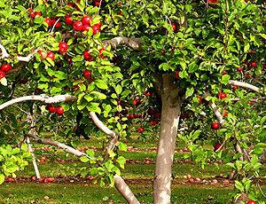 Удобрение для яблонь летом