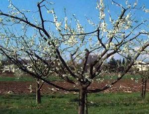 Слива: удобрение весной