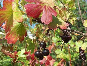 Какими удобрениями подкармливать смородину осенью